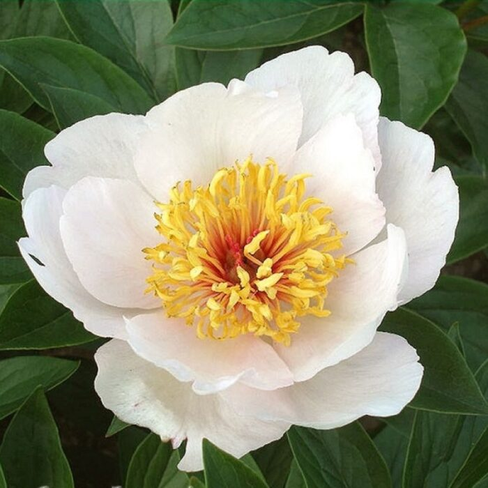 Реквием - сорт цветка