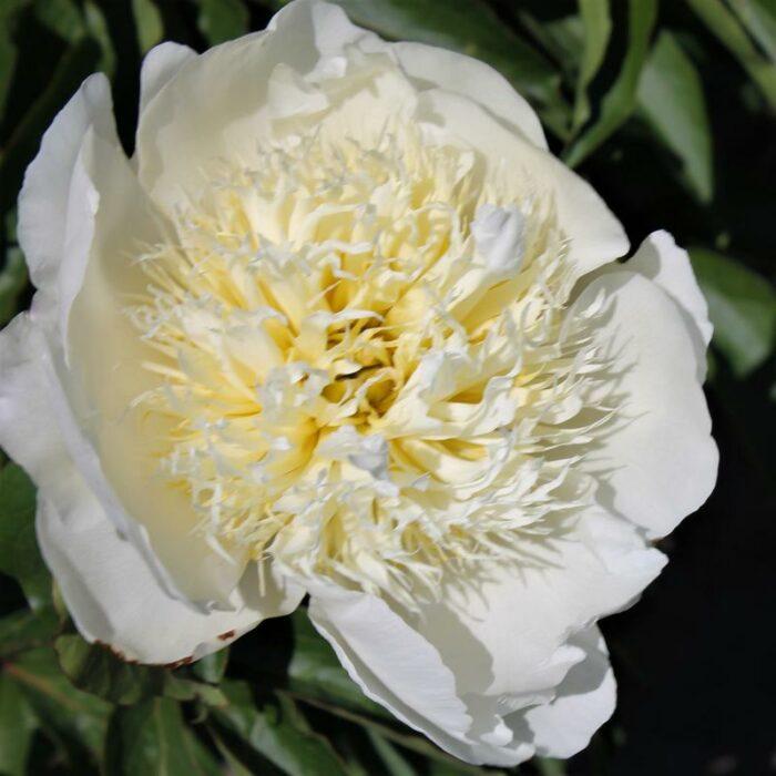 Брайд - сорт цветка