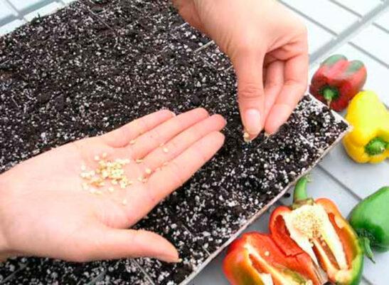 подготовка семян капусты к посеву на рассаду
