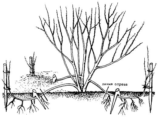Рисунок - Бирючина