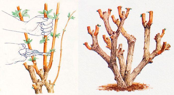 Рисунок - Будлея