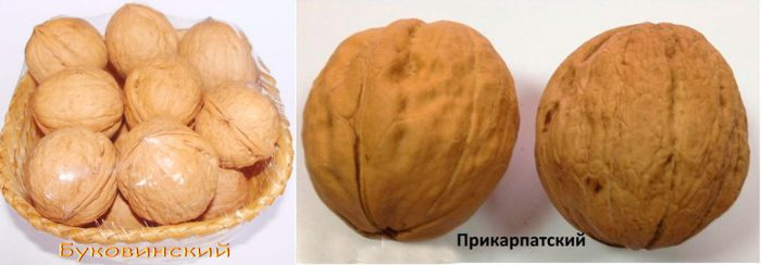 Рисунок - Грецкий орех