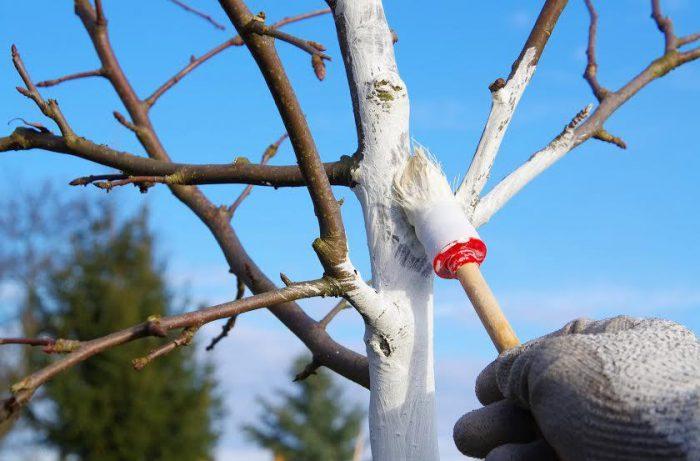 Рисунок - Когда и как белить плодовые деревья весной