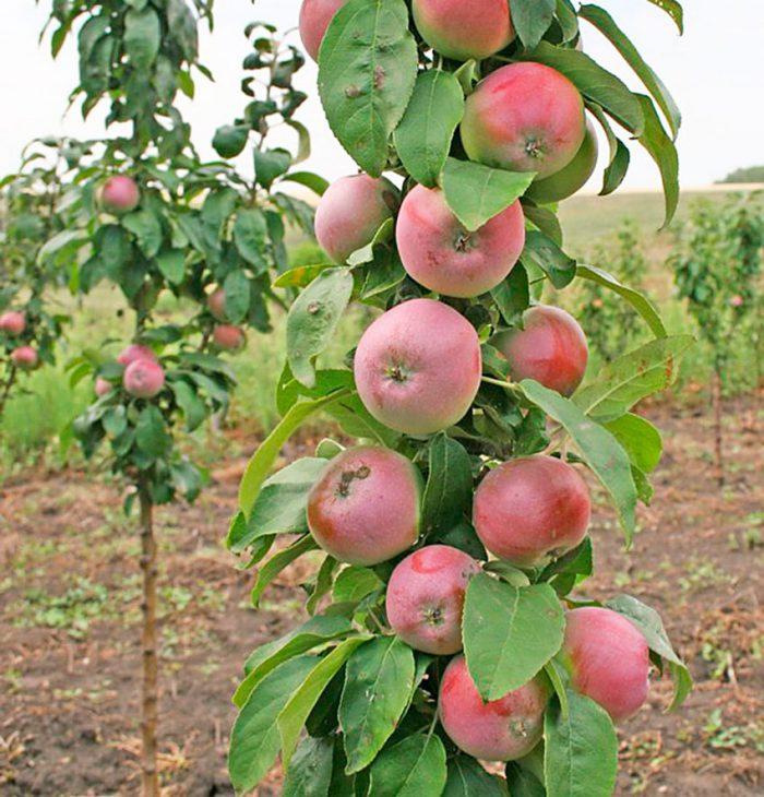 Рисунок - Колоновидная яблоня