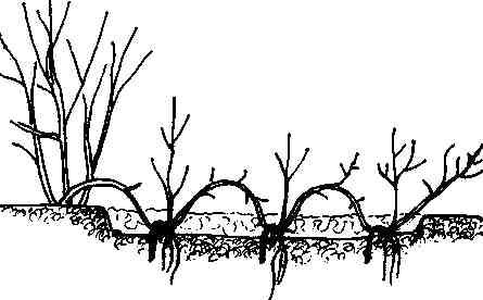 Рисунок - Можжевельник