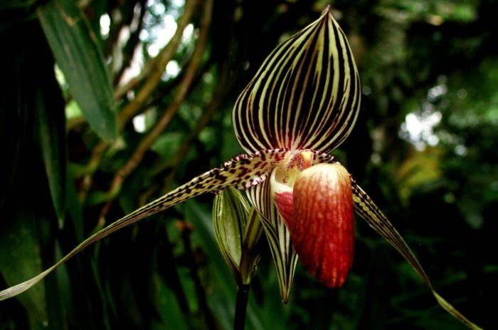Классификация орхидеи: Золото Кинабалу