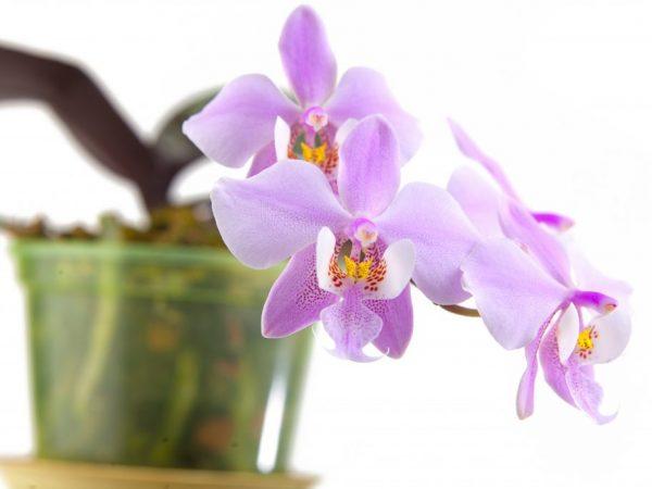 Вред и польза орхидеи