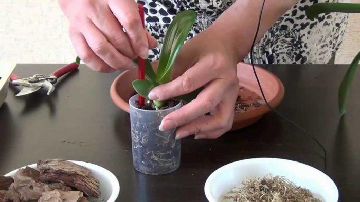 Как вырастить орхидею - посадка