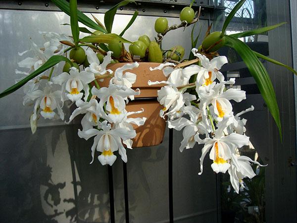 Уход за орхидеей - температура