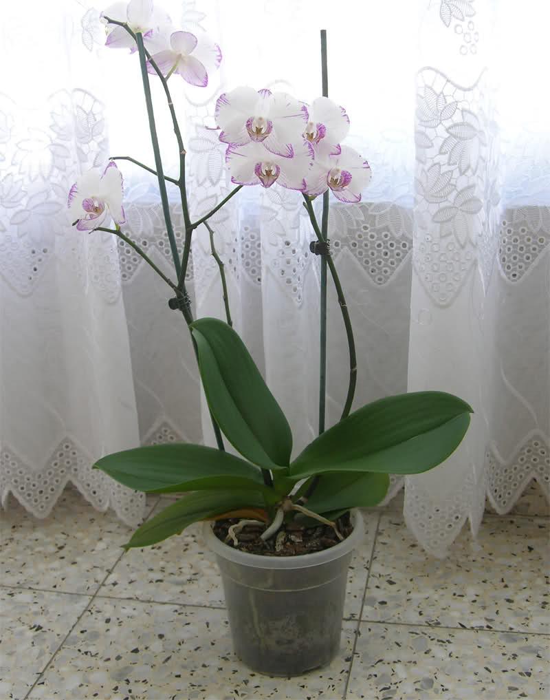 Уход за орхидеей - освещенность