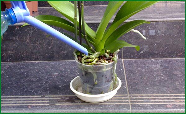Уход за орхидеей - полив