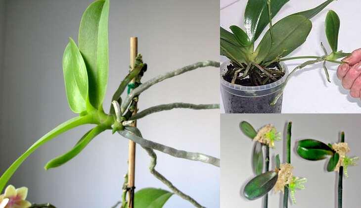 Размножение и пересадка орхидеи