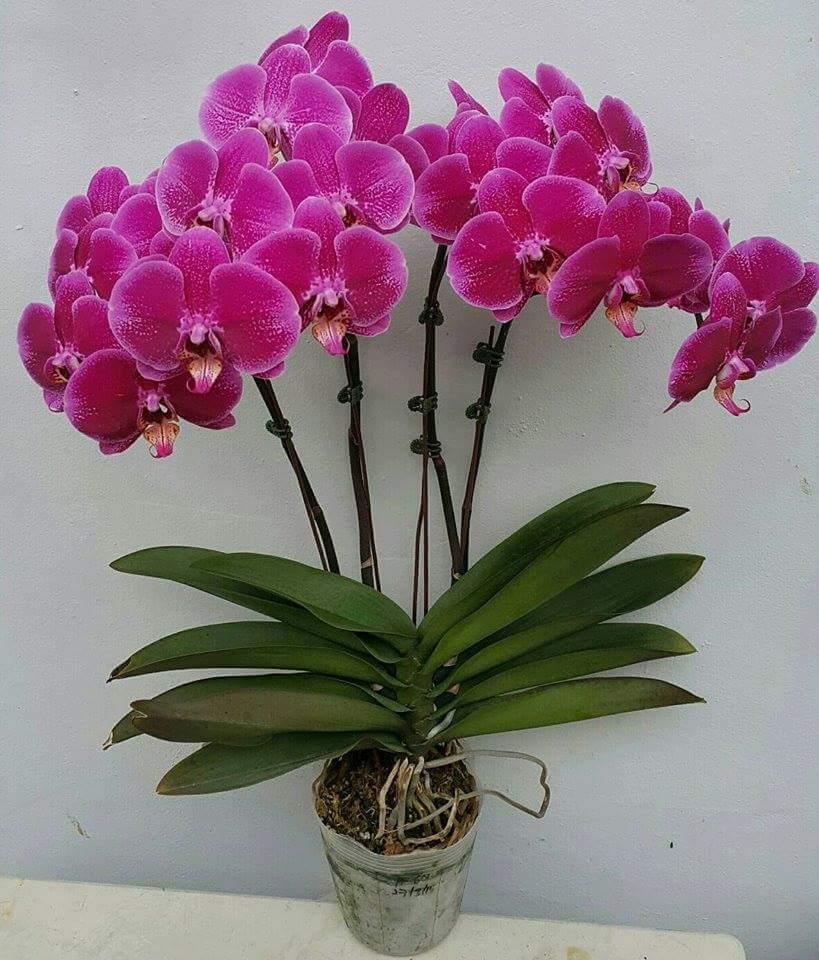 Рисунок - 21 Орхидея
