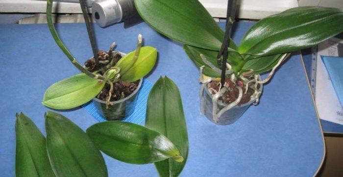 Рисунок - 25 Орхидея