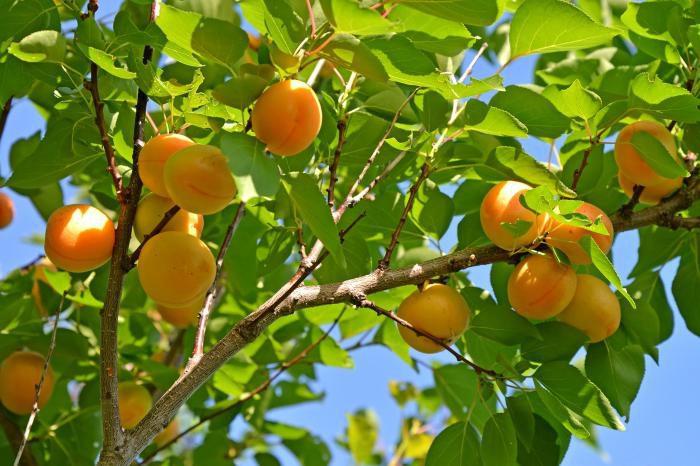 Рисунок - Осенняя обрезка плодовых деревьев