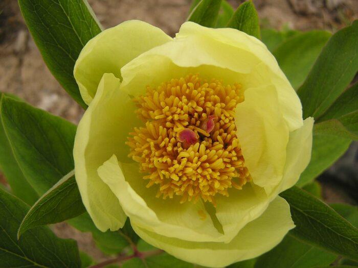 Пион Млокосевича - сорт цветка