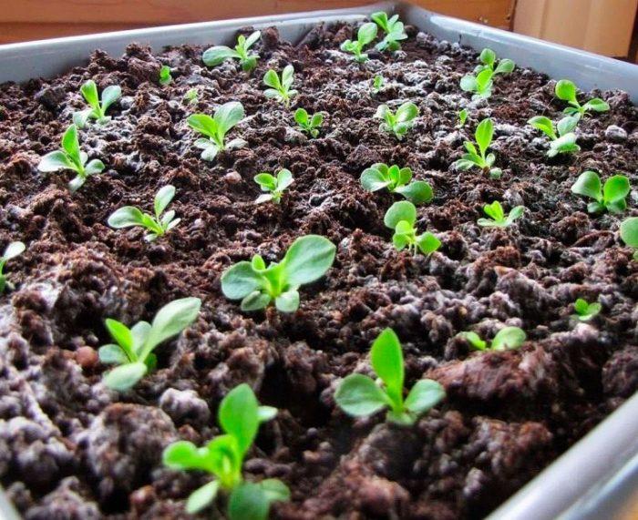 Размножение примулы - Выращивание из семян
