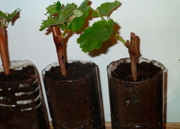 Рисунок - Выращивание винограда из черенков зимой